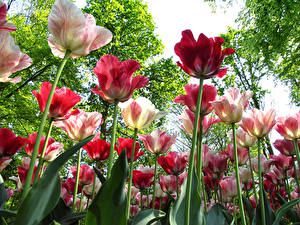 Фотография Сады Тюльпаны Крупным планом Вид снизу Цветы