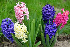 Фотографии Гиацинты Крупным планом Цветы