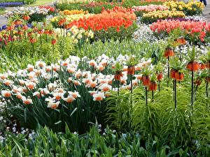 Обои Нидерланды Парки Нарциссы Рябчик Тюльпаны Много Keukenhof