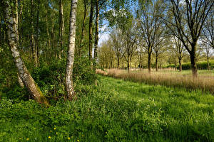 Фото Нидерланды Весна Дерево Трава Березы Beverwijk