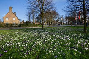 Фотографии Нидерланды Весенние Крокусы Деревья Beverwijk Природа