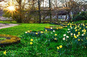 Фотографии Парки Весна Нарциссы Солнце Трава Мох