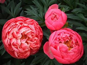 Картинка Пионы Крупным планом Втроем Розовый