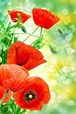 Обои Маки Вблизи Красных Бутон цветок