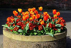 Фотографии Первоцвет Тюльпаны Оранжевый