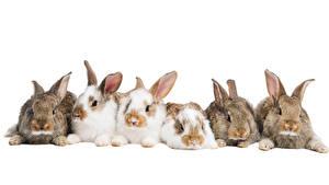 Картинка Кролики Белом фоне Животные