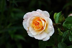 Фотографии Розы Крупным планом Белый Цветы
