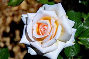 Картинка Розы Вблизи Белый Цветы