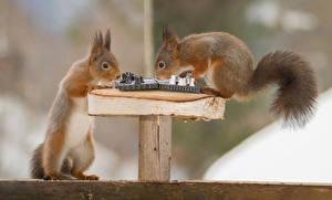 Фотографии Белки Шахматы Вдвоем Животные