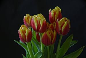Фотографии Тюльпаны Крупным планом Черный фон Капель Цветы