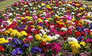 Фото Тюльпаны Сады Первоцвет Много Цветы