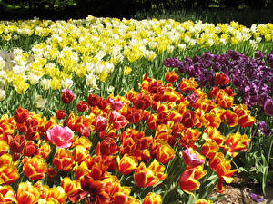 Фотографии Тюльпаны Много Вблизи Цветы