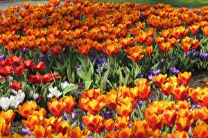 Фото Тюльпаны Много Вблизи Цветы