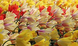 Фотография Тюльпаны Много Вблизи Цветы