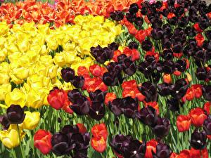 Обои Тюльпаны Много Крупным планом Цветы