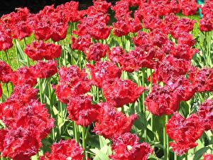Фотография Тюльпаны Много Вблизи Красный Цветы