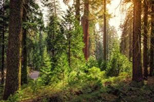 Картинка Америка Парк Калифорния Ствол дерева Ель King's Canyon National Park Природа