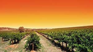 Фотография Австралия Поля Виноградник Кусты Barossa Valley wine region