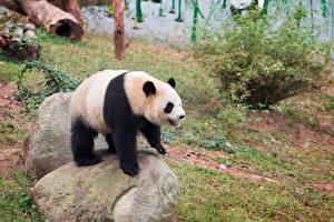 Картинки Медведи Бамбуковый слон в посудной лавке Камень Животные