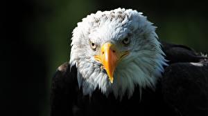 Картинки Птицы Ястреб Вблизи Голова Белоголовый орлан Клюв Смотрит Животные