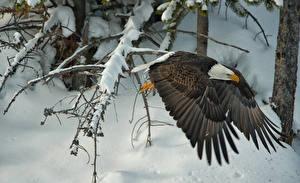 Картинка Птицы Ястреб Зимние Полет Белоголовый орлан Крылья Снег Животные