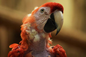 Фотография Птицы Попугаи Клюв Голова