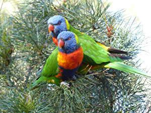 Фотография Птицы Попугаи Двое Ветвь