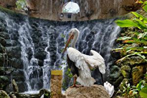 Картинка Птицы Пеликаны Водопады Животные Природа