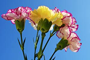Фотографии Гвоздики Вблизи Цветной фон Цветы