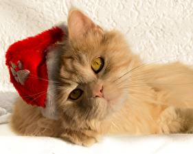 Картинки Коты Смотрит Рыжий Шапки Морда Животные