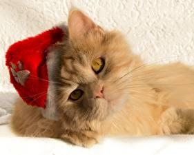 Картинки Коты Взгляд Рыжий Шапки Морда Животные
