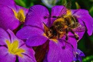 Фотография Крупным планом Пчелы Первоцвет цветок
