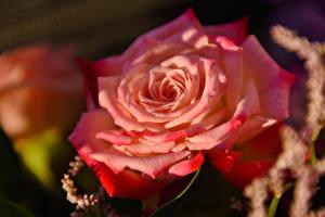 Картинка Крупным планом Розы Розовый Цветы