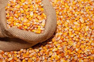 Фотографии Кукуруза Много Зерна Пища