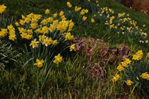 Фотография Нарциссы Трава Желтая Цветы