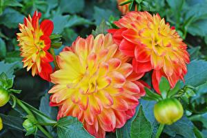 Фотография Георгины Крупным планом Бутон цветок