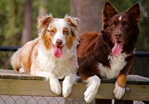 Фотография Собака Аусси Двое Язык (анатомия) Животные