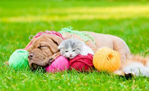 Фотография Собака Кошка Бордоский дог Двое Котенок Спящий Трава Шарики Животные