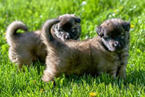Картинка Собака Трава Щенки 2 Овчарки Caucasian Животные