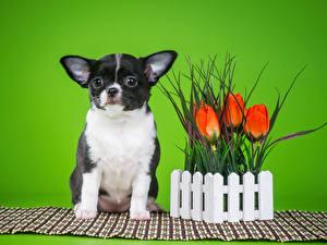 Фотографии Собаки Тюльпаны Цветной фон Чихуахуа Ограда