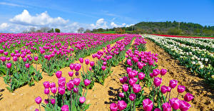 Обои Поля Тюльпаны Много Фиолетовая Цветы