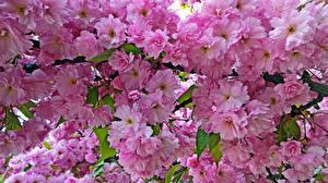 Фотографии Цветущие деревья Вблизи Розовый Ветвь Цветы