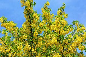 Фотография Цветущие деревья Ветвь Желтый Yellow acacia Цветы