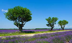 Фотография Франция Поля Лаванда Деревья Valensole Природа
