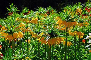 Фотографии Рябчик Вблизи Желтый Цветы