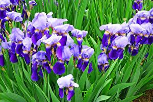 Фотографии Ирисы Вблизи Цветы
