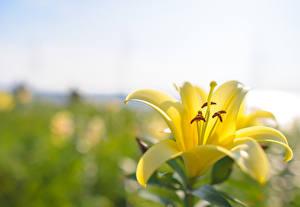 Обои Лилии Крупным планом Желтый Цветы