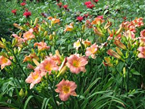 Фото Лилии Бутон Цветы