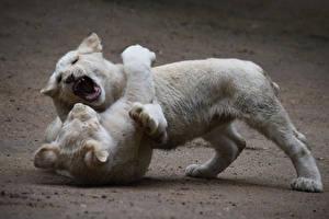 Фотографии Львы Детеныши Двое Белый Сражение Животные