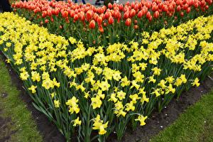 Картинка Нидерланды Нарциссы Тюльпаны Keukenhof Цветы
